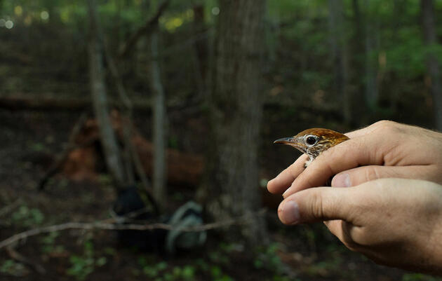 Wood Thrushes Connect Bird Lovers Across Borders