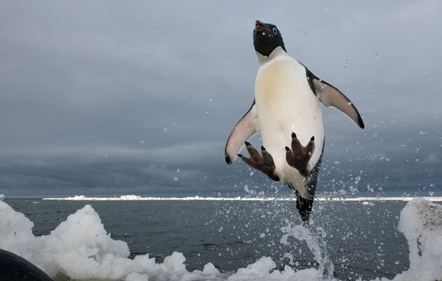 Follow Adélie Penguins On Their Journey Into the Long Polar Night