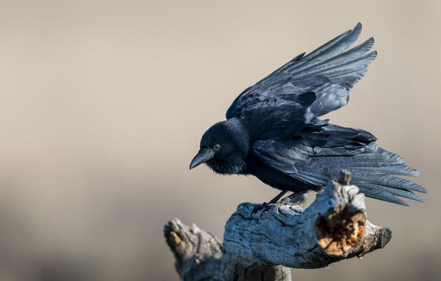 A Sassy Crow Narrates the Zombie Apocalypse in New Novel