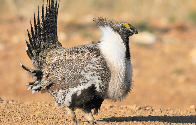 Audubon: The Sage-Grouse Is Not a Threat to America's Military