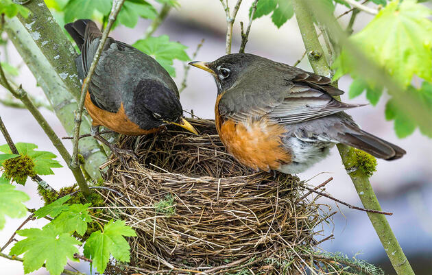 You've Likely Hosted More Nesting Robins Than You Think