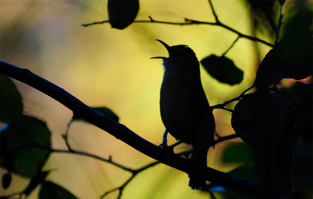 Teakettle, Cheeseburger . . . Pidaro? The Case for Using Real Words to Remember Bird Songs