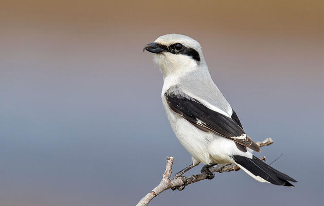 What Do Baseball Players and Shrikes Have In Common?