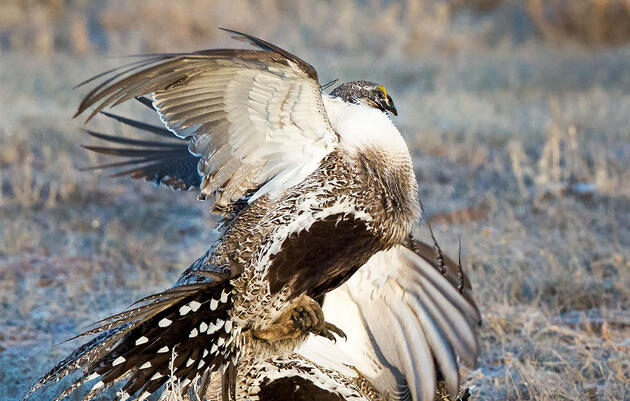 Audubon Warns Interior's Industry-Friendly Plans Put Sage-Grouse at Risk
