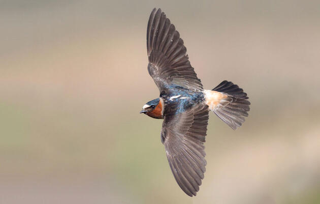 Is That a Swallow or a Swift?