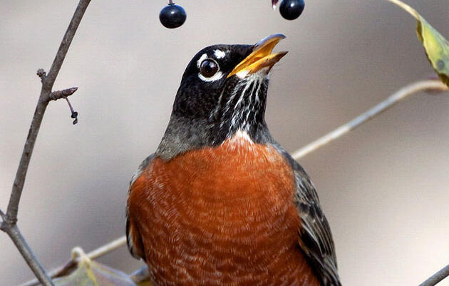 Hear the Robin's Intricate Evening Song Slowed Down