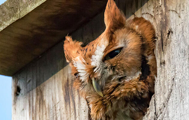 How to Build a Screech-Owl Nest Box