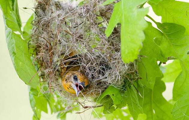 How Orioles Build Those Incredible Hanging Nests