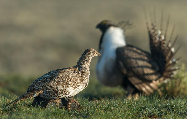 Is That a Robo-Bird or Real Lady? For Male Sage-Grouse, Either Will Do