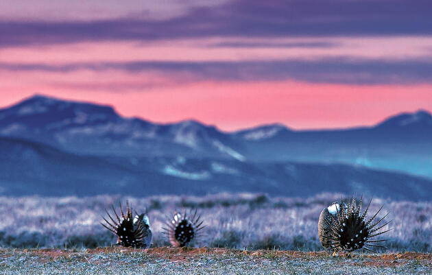 With Habitat Protections Officially Lifted, What's Next for the Greater Sage-Grouse?