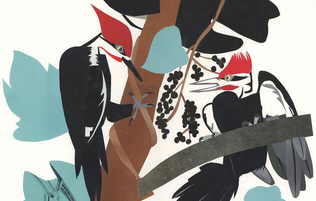 Reimagining the Pileated Woodpecker