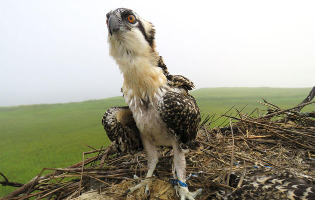 More Plastic in the World Means More Plastic in Osprey Nests