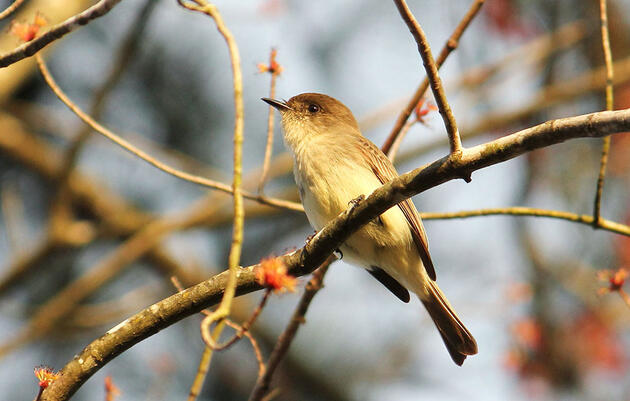 Is That a Phoebe or Pewee Calling?