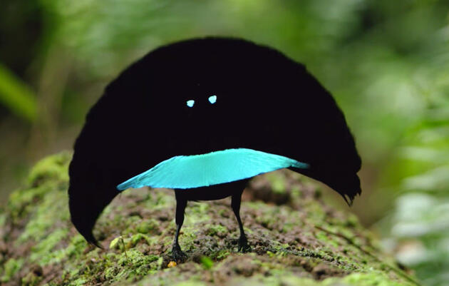 New Bird-of-Paradise Slides Around Sporting a Bright-Blue Frown