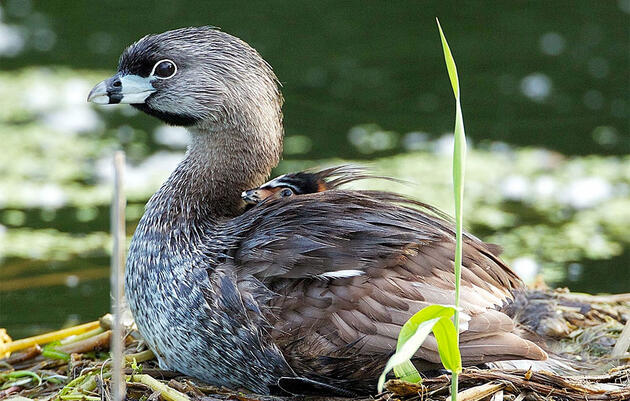 How Grebes Build Floating Nests That Keep Their Eggs High and Dry