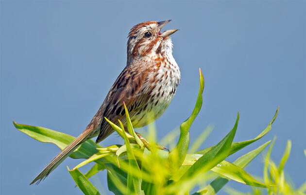 The Biggest Differences Between Song and Savannah Sparrows