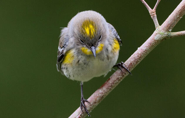 The Yellow-Rumped Warbler Will Probably Be Split Into Different Species Again