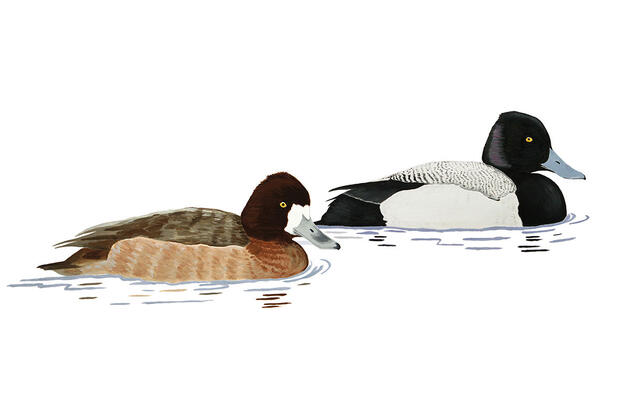 Even John James Audubon Couldn't Tell the Difference Between Scaup Ducks
