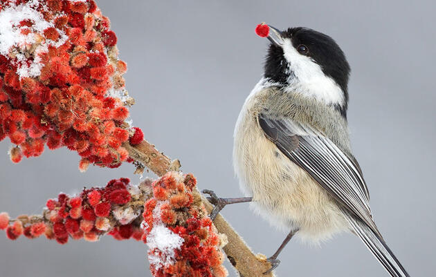 How to Tell a Carolina From a Black-Capped Chickadee