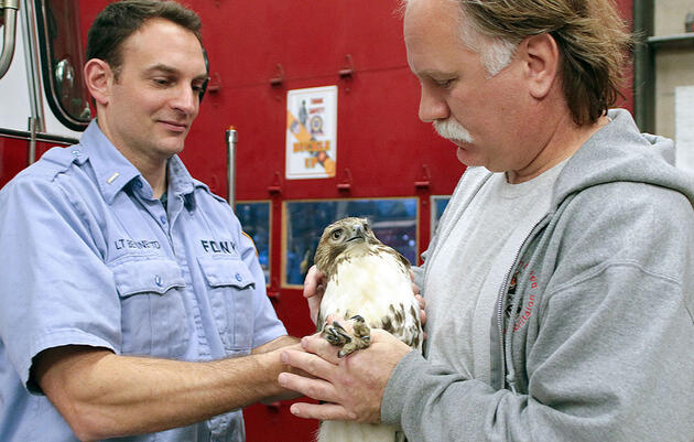 Why One NYC Red-Tailed Hawk Needed a Double Rescue