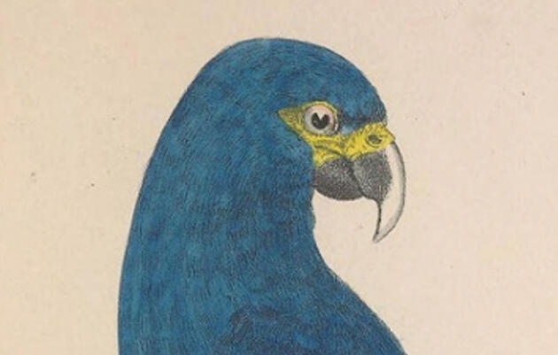 Can Two Frozen Testicles Bring Back the Spix's Macaw?