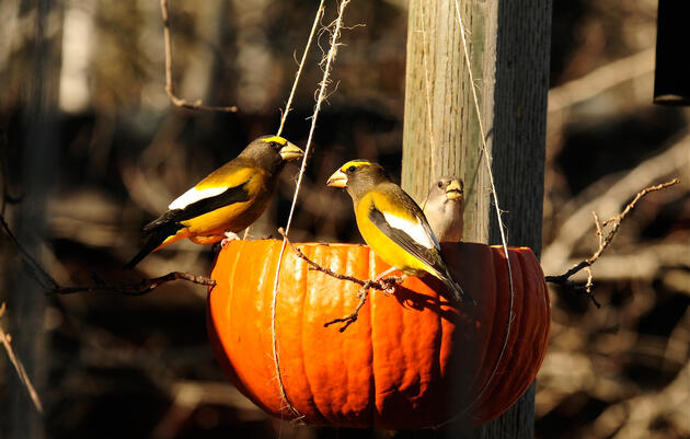 Pumpkin Bird Feeder Makes a Happy Harvest For Birds