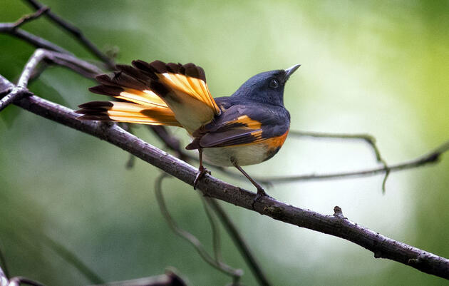 Celebrating Thirty Years of Partnering for Migratory Bird Conservation