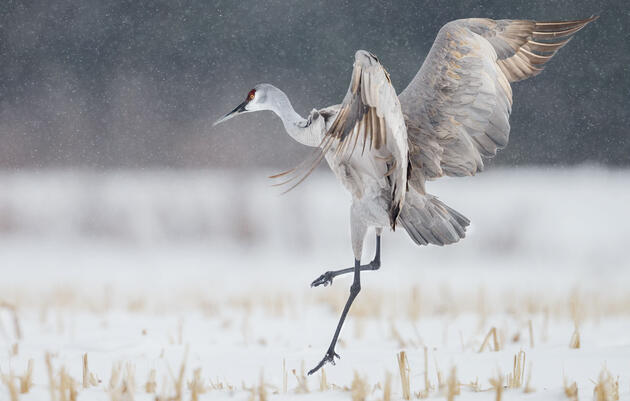 Vital Bird Protections Move Forward in Congress