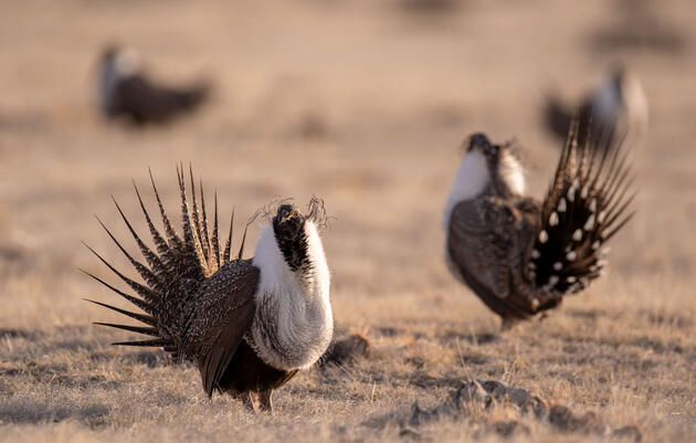 "Audubon: New Sage-Grouse Review Plan is ""Nothing More Than Window-Dressing"""