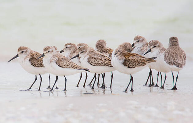 Summer's Not Over Yet, and Neither Is Shorebird Season