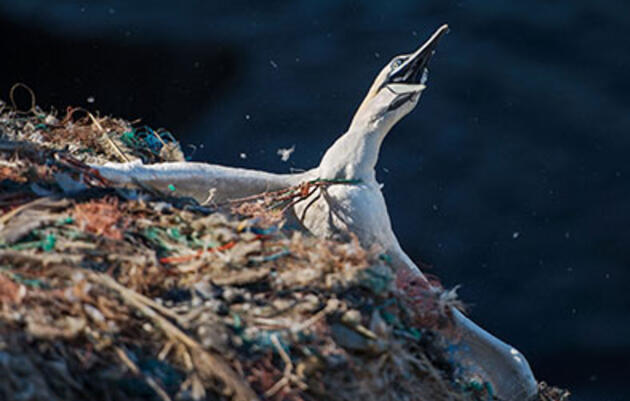 An Annual Rescue Mission to Free Northern Gannets Tangled in Plastic Trash