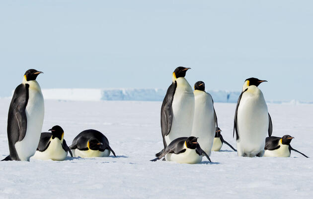 Emperor Penguins Are Marching to Extinction at Current Emissions Levels