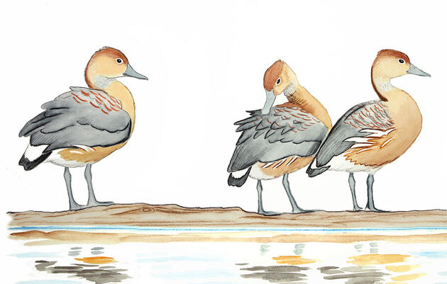 The Curious Case of the Itinerant Fulvous Whistling-Duck
