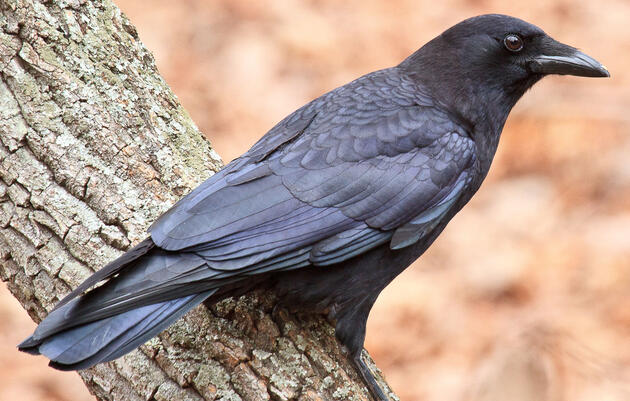 Birdist Rule #65: How to Tell the Difference Between Crows