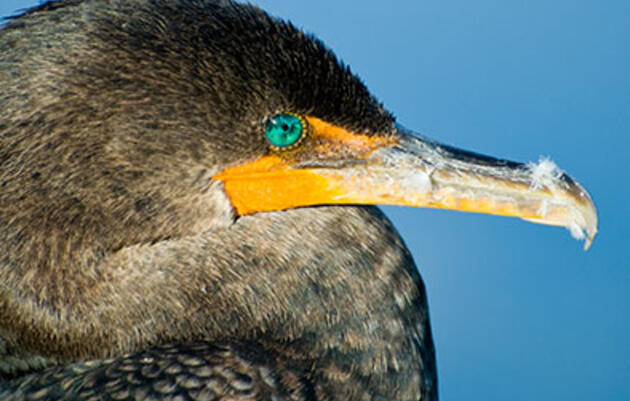 Did Oregon's Cormorants Finally Snap Under the Pressure of a Cull?