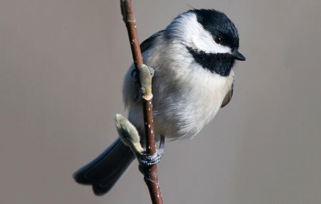 Rule #71: Figure Out What Kind Of Chickadees You've Got
