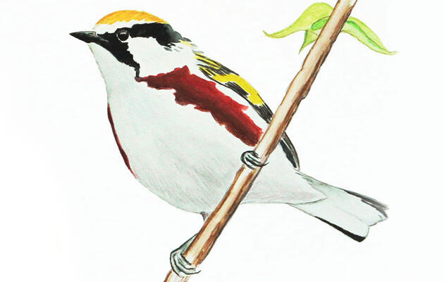 Meet John James Audubon's Nemesis Bird: the Chestnut-sided Warbler