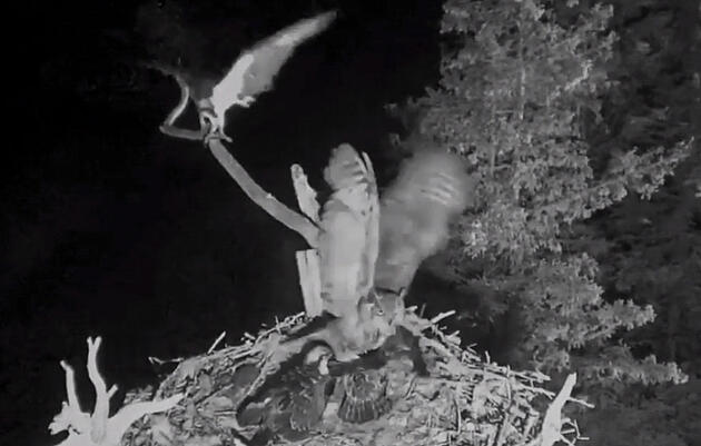 Hog Island Osprey Chick Snatched From Nest by Great Horned Owl