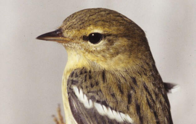 The Blackpoll Warbler: Tiny Bird, Amazing Migrator