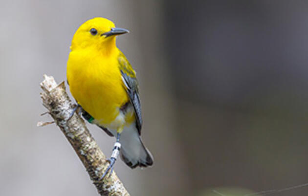 New Research Details Warblers' Mystery Treks