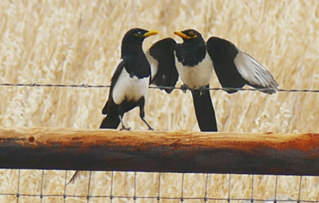 Day 147: Magpies and Oil