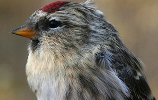 One Redpoll to Rule Them All