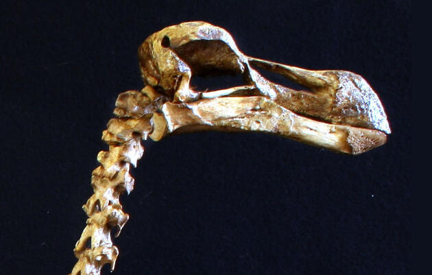 Why the Dodo Deserves a New Reputation