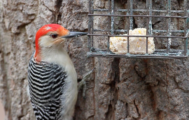What's That Bird at Your Suet Feeder?