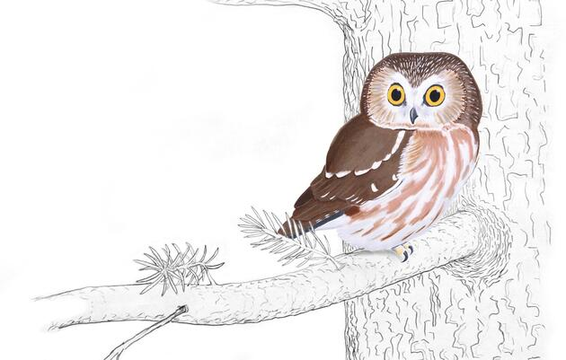 Image result for clip art saw whet owl