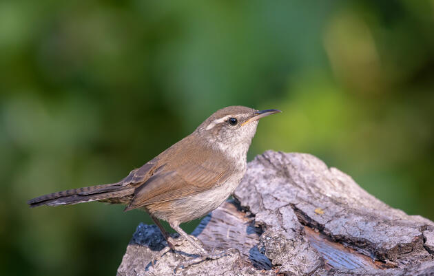 Listen to a Young Bewick's Wren Trying to Find Its Voice