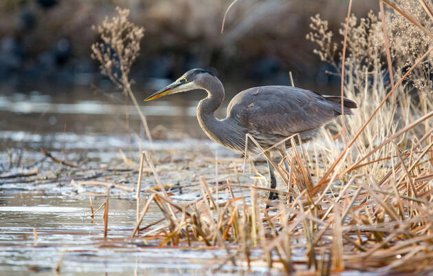 Audubon Opposes Final Repeal of Clean Water Rule