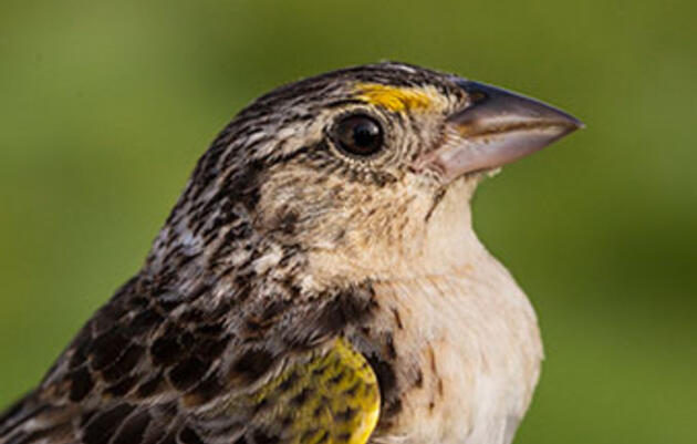Inside the Race to Save the Florida Grasshopper Sparrow, North America's Most Endangered Bird