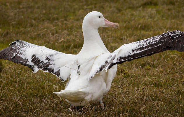 Albatross Wearing Data Trackers Are Exposing Illegal Fishing Boats