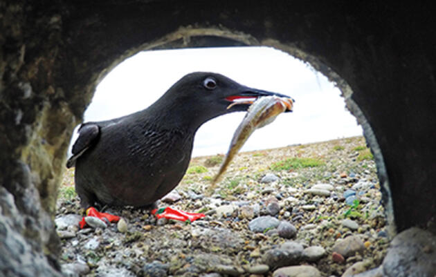 Can These Seabirds Adapt Fast Enough to Survive a Melting Arctic?